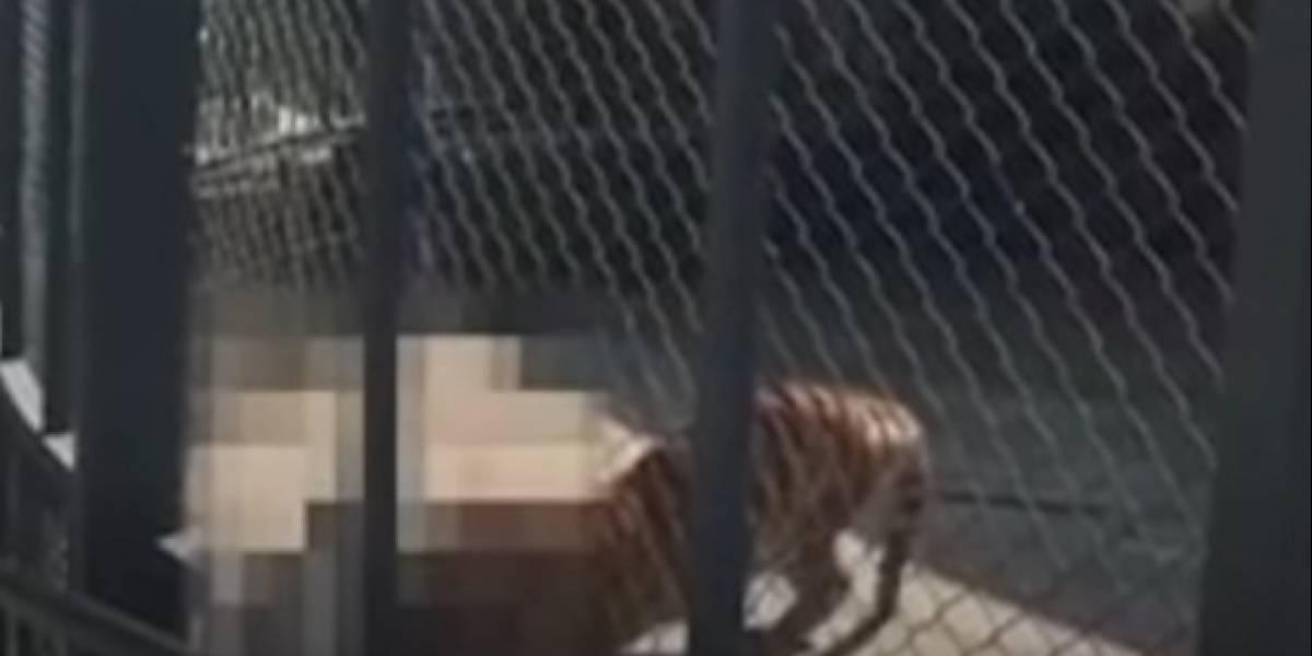 Video: Tigre devora a hombre que lo crió desde cachorro
