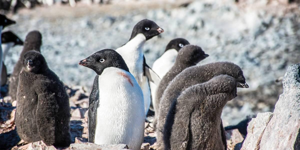 ¡Ni los pingüinos se salvan!: Aves chilenas habrían sido contagiadas de influenza por patos norteamericanos
