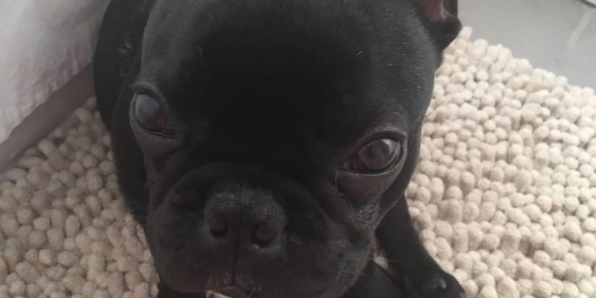 """La muerte del perro """"Kokito"""" en un avión por la que United Airlines admitió responsabilidad"""