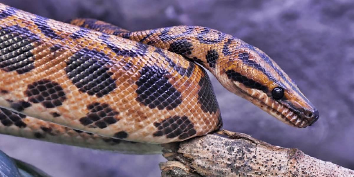 Video: esta es la serpiente con dos cabezas y dos corazones que nació en EE.UU.