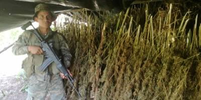 plantaciones de marihuana en Petén 1