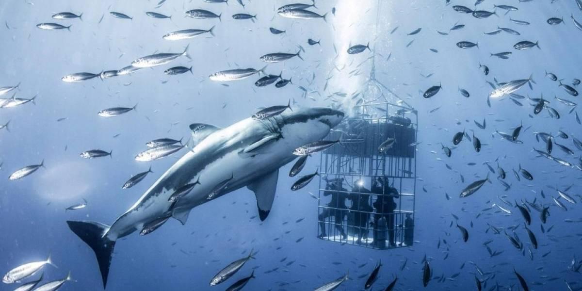 ¡De película!, buzos lograron fotografiar un enorme tiburón blanco