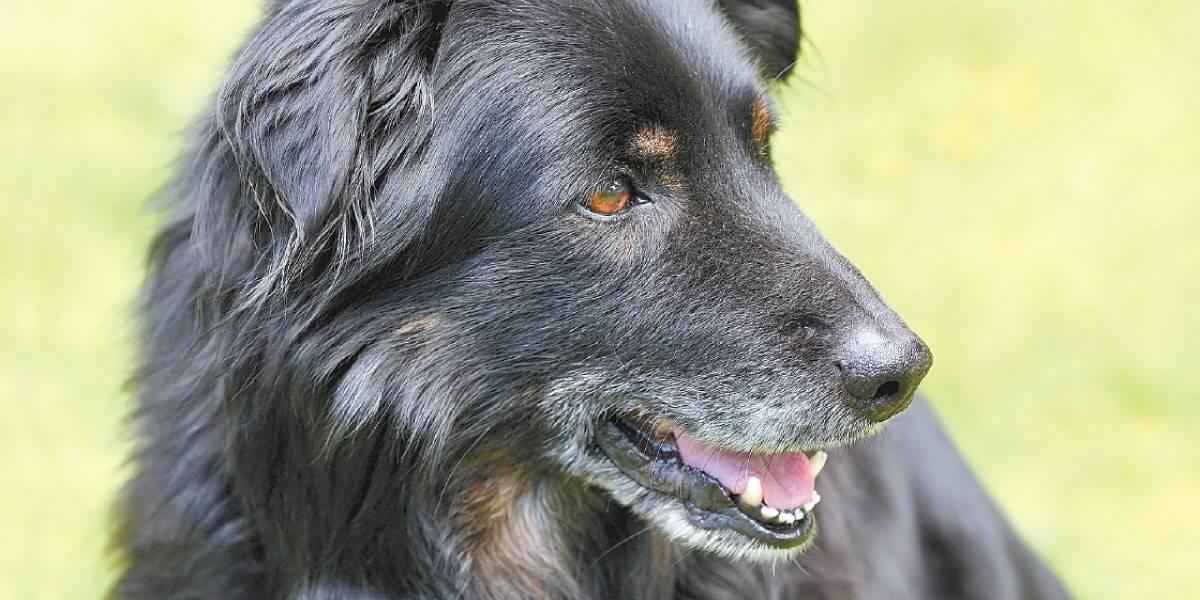 Estresse pode causar fios brancos em cães
