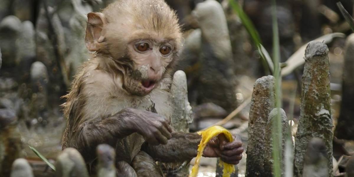 Pícaro chimpancé le baja blusa a una turista
