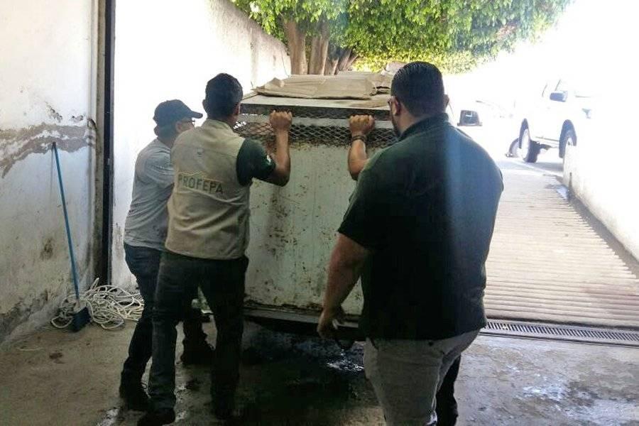 Envían a santuario felino a dos tigres rescatados en Jalisco