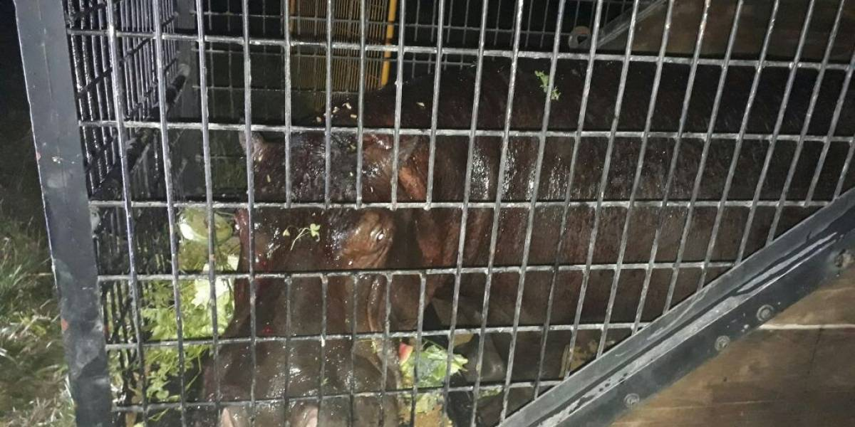 Capturan al hipopótamo Tyson y lo trasladan a Orizaba, Veracruz