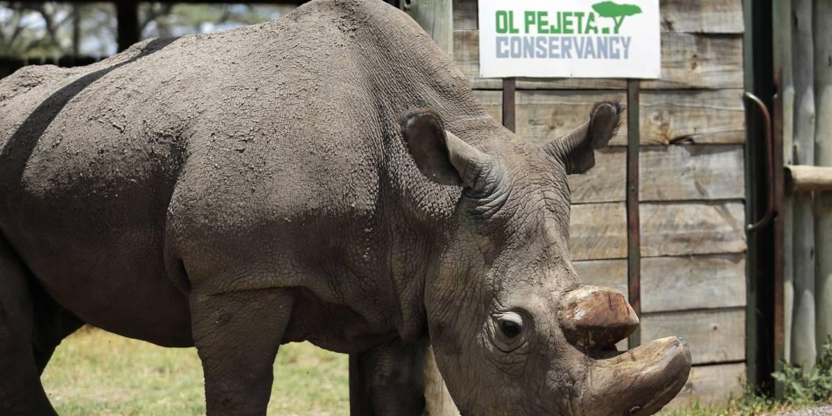 Muere 'Sudán', el último macho de rinoceronte blanco del mundo