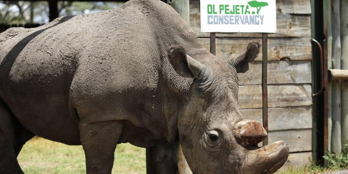 """Luchó por salvar su especie y era considerado el """"soltero más deseado"""": muere el último macho de rinoceronte blanco del mundo"""
