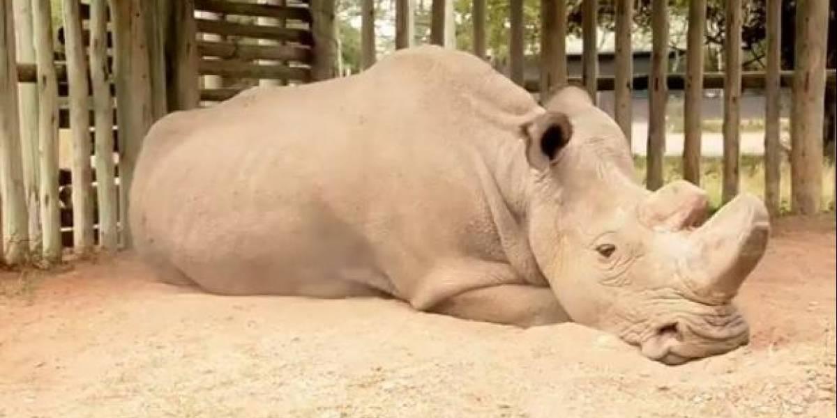 Muere en Kenia el último rinoceronte blanco macho a los 45 años