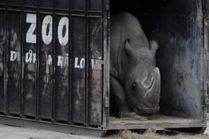 Sudán, último rinoceronte blanco