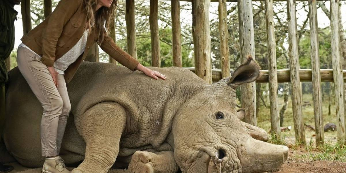 Muere Sudán, el último macho de rinoceronte blanco