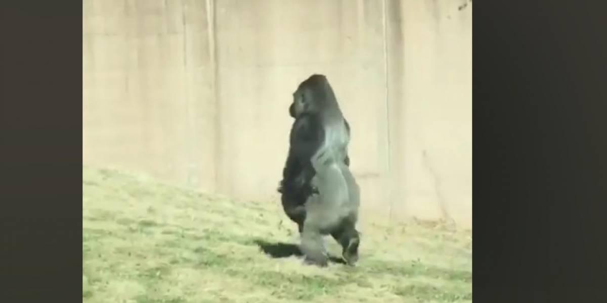 Gorila 'Louis' se vuelve viral por caminar en dos patas