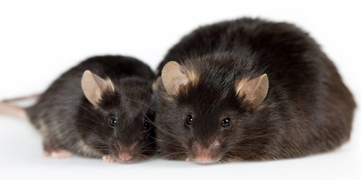 Lo hacen otra vez: científicos chinos entrenan ratas súper inteligentes que pueden ser controladas a través del pensamiento