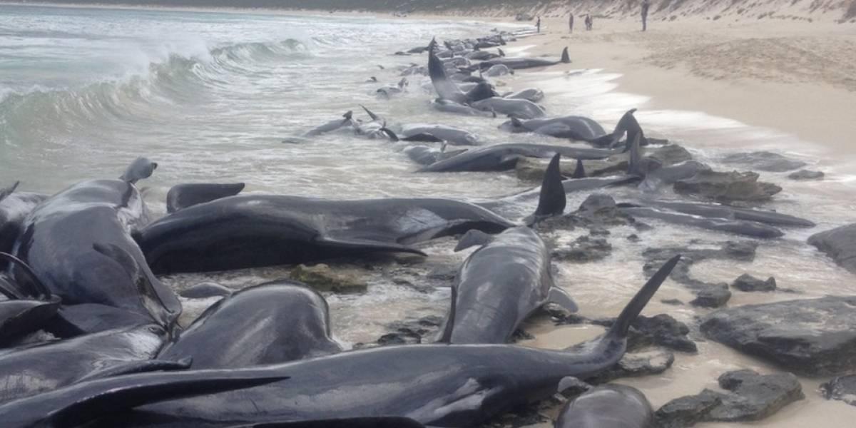 Baleias encalham em massa em praia na Austrália e intrigam autoridades