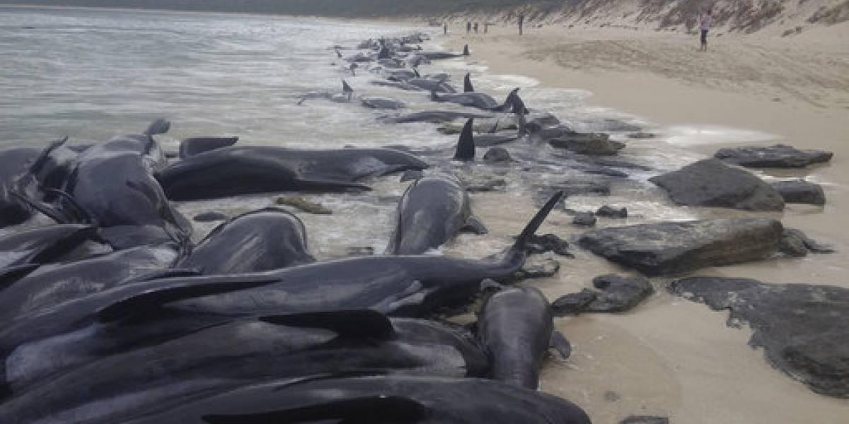 Impactantes imágenes muestran a más de 150 ballenas varadas en playa de Australia
