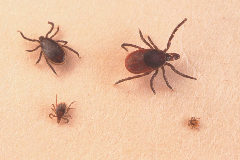 ¿Lyme es un parásito de la sangre?