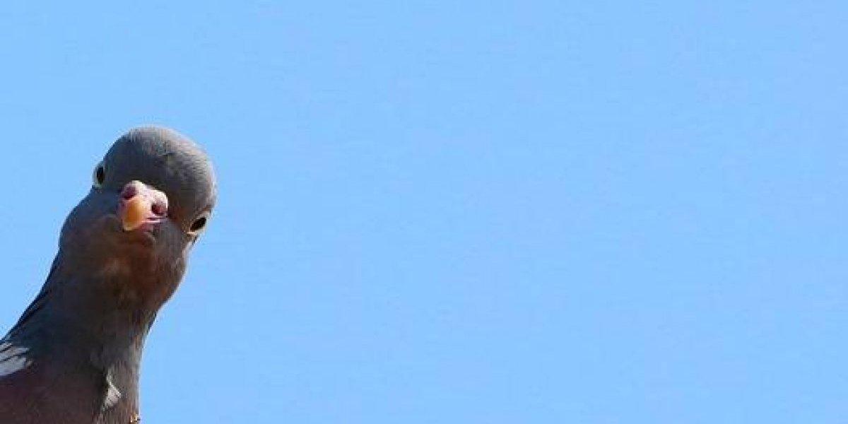 ¿Para venderlas o comerlas?: los misteriosos cazadores de palomas que se volvieron viral y desataron fuerte polémica