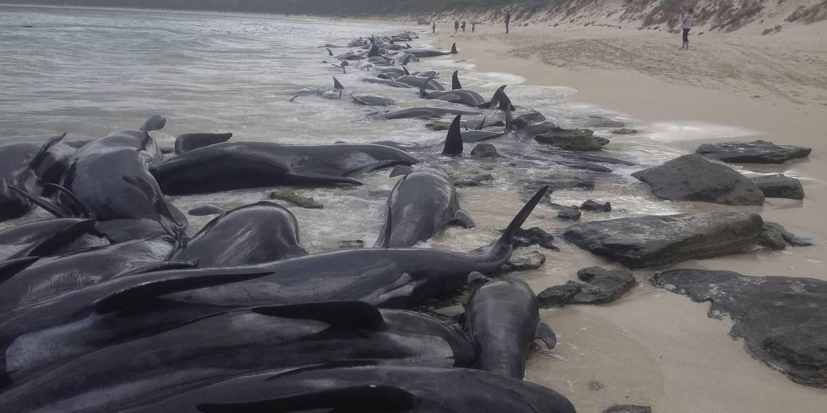 Más de 150 ballenas encallaron en Australia; sólo sobreviven seis