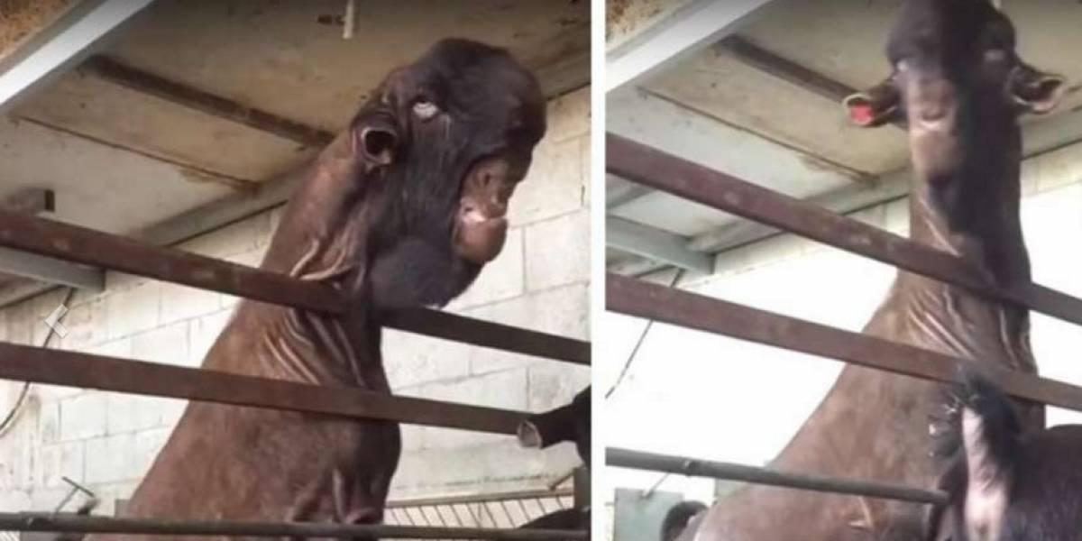 Video: Esta cabra con cara de humano 'aterroriza' las redes sociales