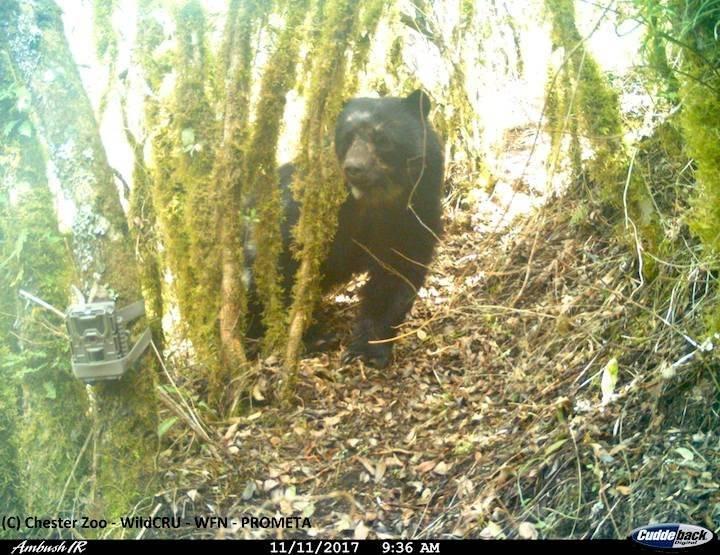 Las cámaras trampa han permitido registrar el comportamiento del Oso Andino o Jucumari (Tremarctos ornatus).
