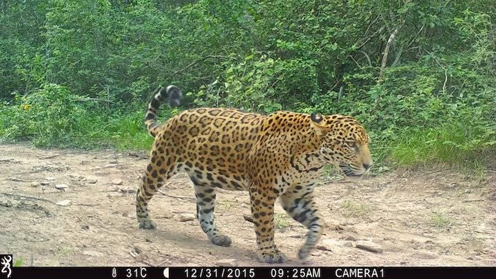 Las cámaras trampa en la estancia San Miguelito han registrado la presencia de 10 jaguares adultos.