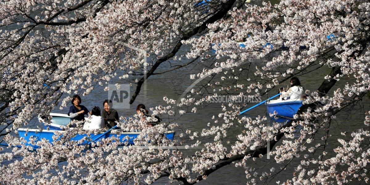 Cerezos alcanzan plena floración en Japón