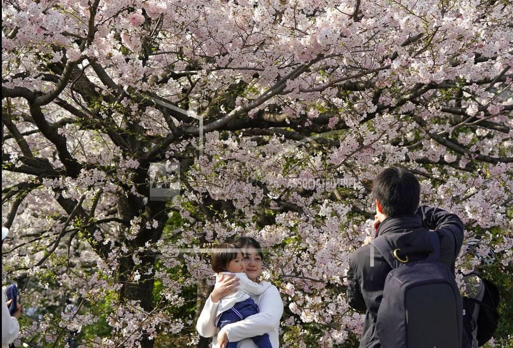 Una familia toma fotos de las flores de cerezo en Chidorigafuchi, Tokio, el lunes, 26 de marzo del 2018. Los famosos cerezos japoneses alcanzaron plena floración en Tokio, donde la primavera se está haciendo sentir. AP