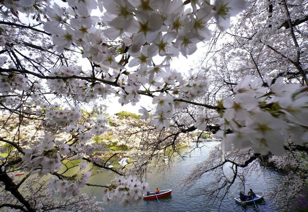 Visitantes en botes disfrutan de las flores de cerezos en un estanque del Palacio Imperial Chitorigafuchi, en Tokio, el lunes, 26 de marzo del 2018. Los famosos cerezos japoneses alcanzaron plena floración en Tokio, donde la primavera se está haciendo sentir. AP