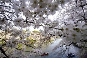 Visitantes en botes disfrutan de las flores de cerezos en un estanque del Palacio Imperial Chitorigafuchi, en Tokio, el lunes, 26 de marzo del 2018. Los famosos cerezos japoneses alcanzaron plena floración en Tokio, donde la primavera se está haciendo sen
