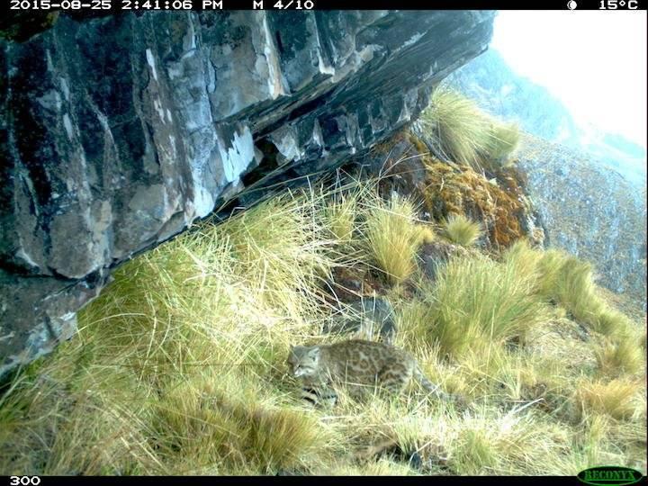 Gato montés (Leopardus colocolo).