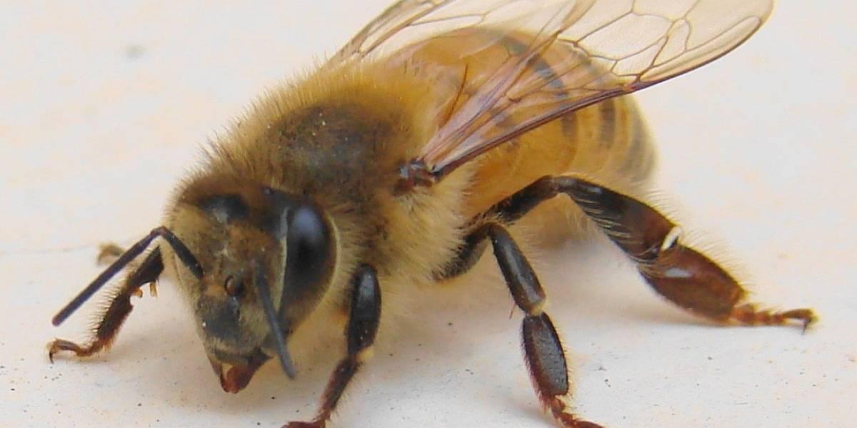 Mulher morre após sessão de acupuntura com abelhas