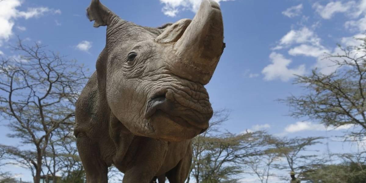 Clonarán al último rinoceronte blanco del norte recientemente fallecido