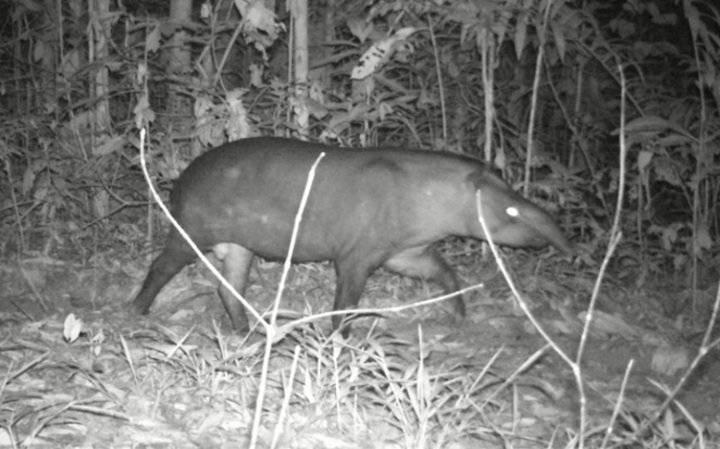 Tapir.