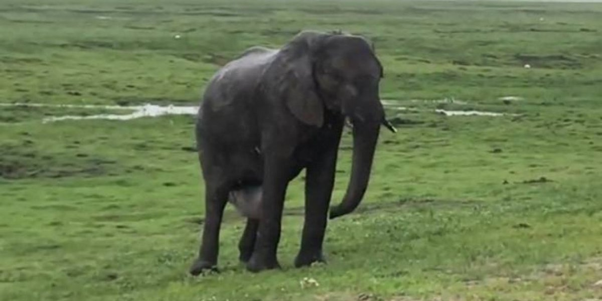 Turistas gravam elefante dando à luz em safári e a reação da manada é surpreendente