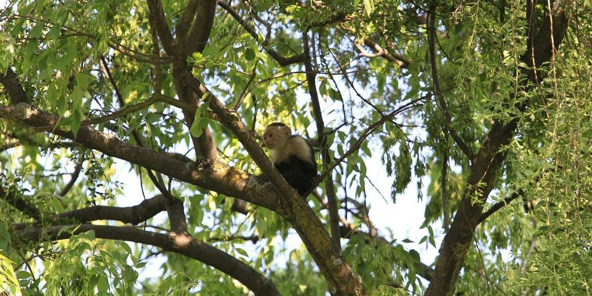 Cierran Paseo de la Reforma por rescate de mono capuchino