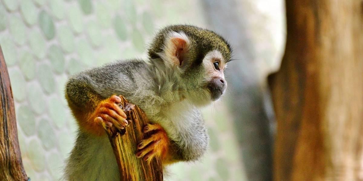 ¿Está permitido tener un mono capuchino como mascota?