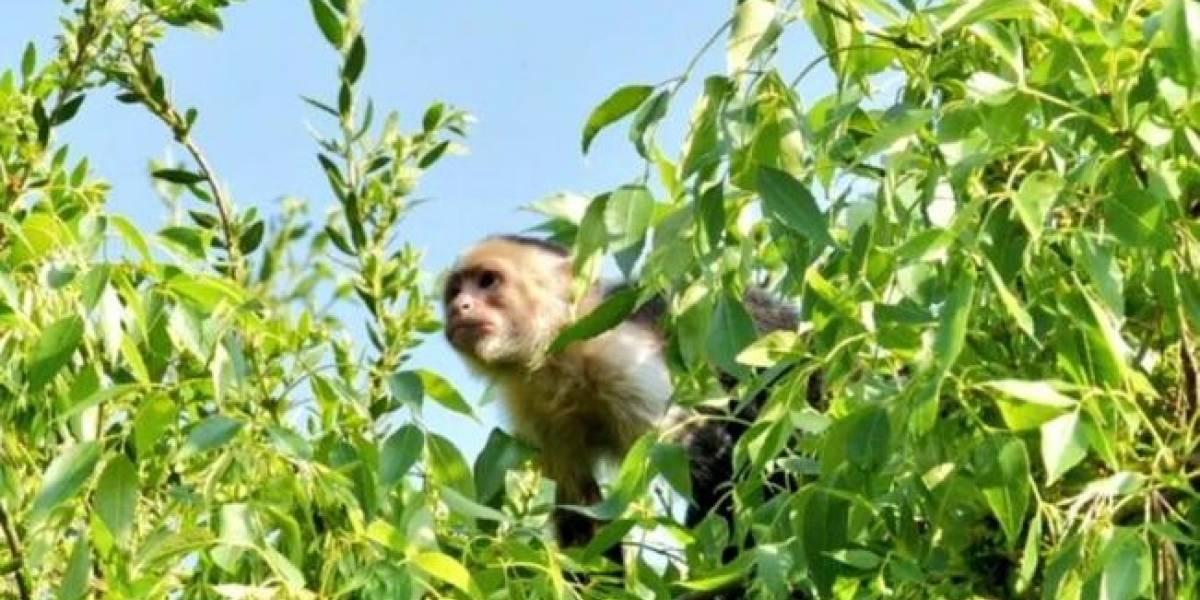 Tranquilizador no durmió a mono capuchino, dosis no fue adecuada