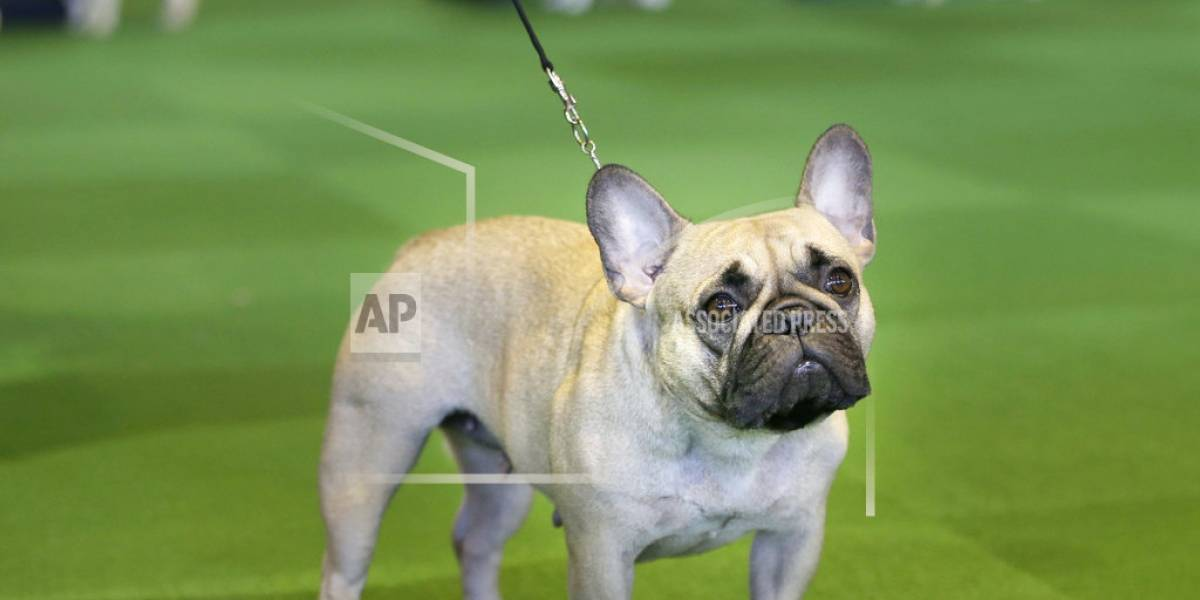 EEUU: El bulldog francés le resta popularidad al labrador