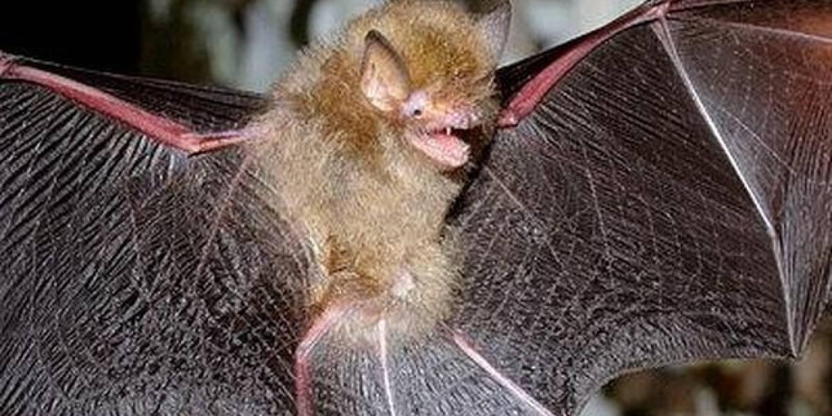 """Científicos mexicanos revelan trucos del """"vampiro"""" para alimentarse de sangre"""