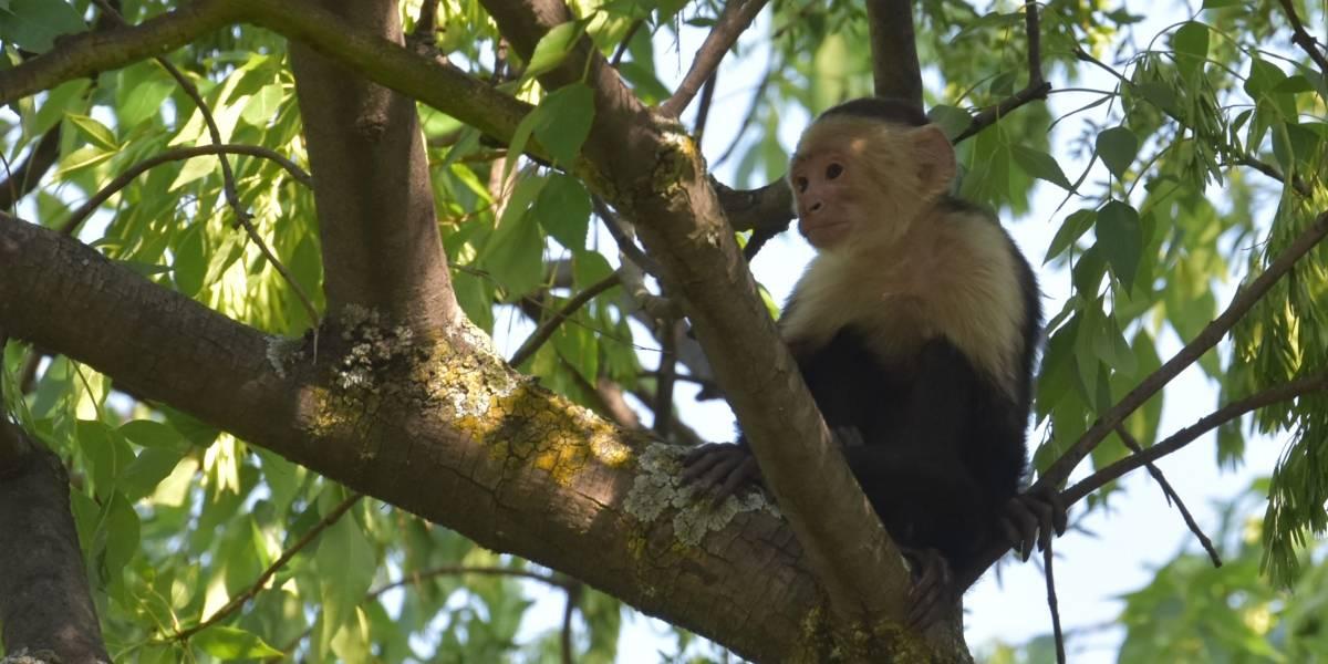 No han encontrado al mono capuchino desaparecido en Lomas de Chapultepec