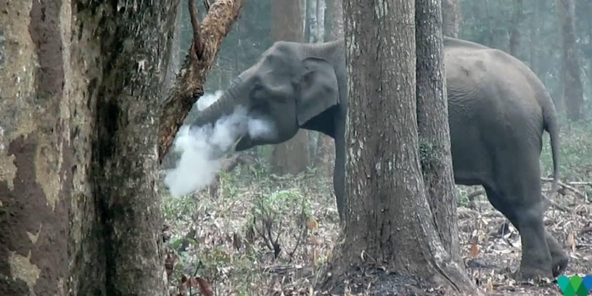 """Imagens de elefante que """"fuma"""" viralizam e intrigam cientistas"""