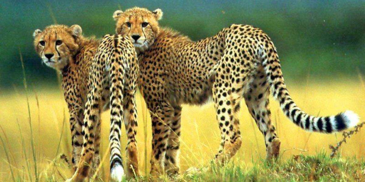 Dos chitas se subieron a un automóvil en el Serengeti