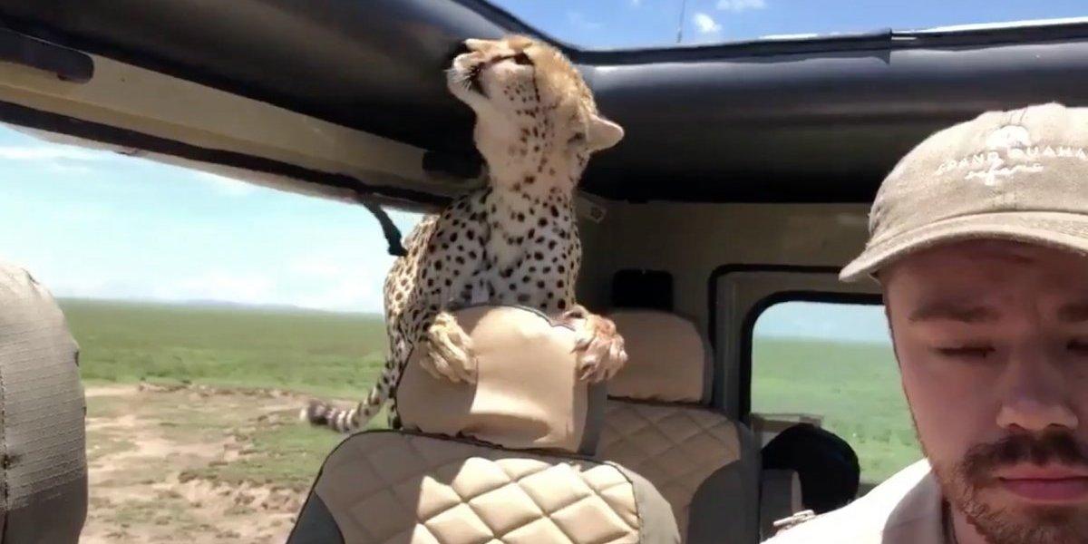 """""""Mi hijo pudo ser la cena"""": el espeluznante encuentro entre un turista y dos guepardos durante safari en África"""