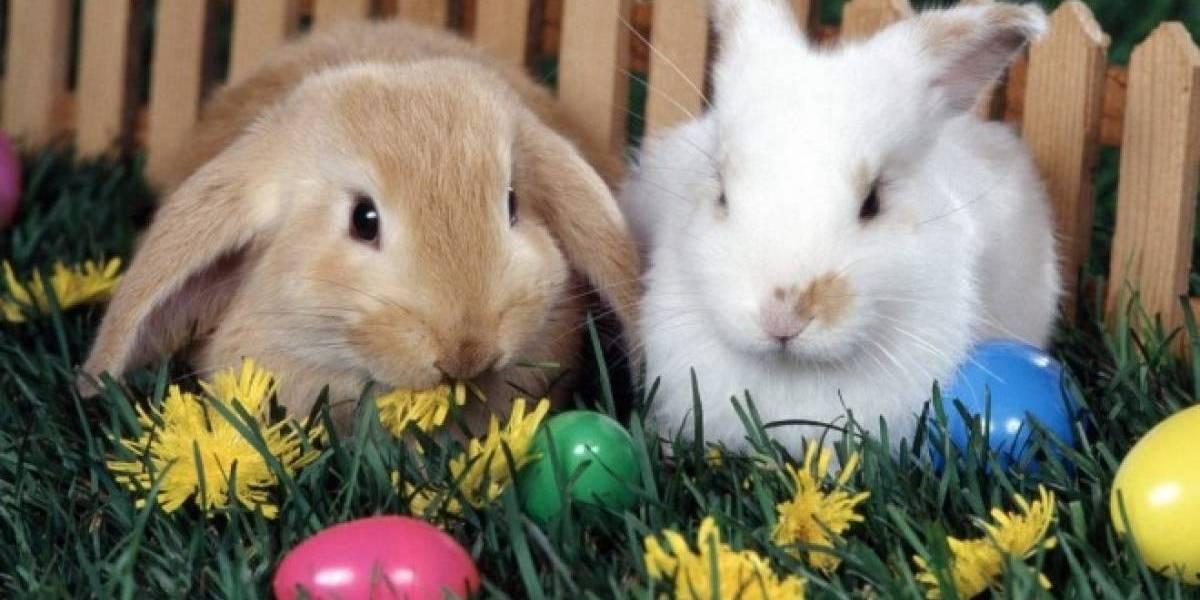 Exhortan a no regalar conejos, pollos o patos