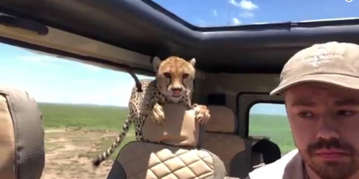 Guepardo entra em jipe e paralisa motorista em safári