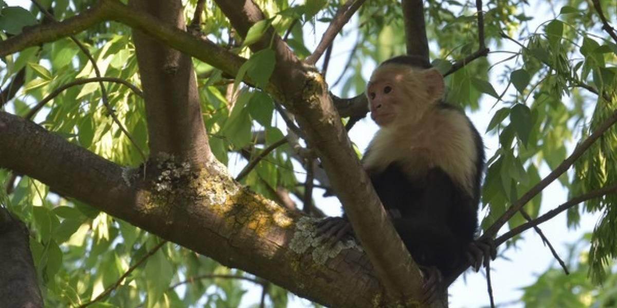 Reaparece el mono capuchino, ahora en Lomas Altas