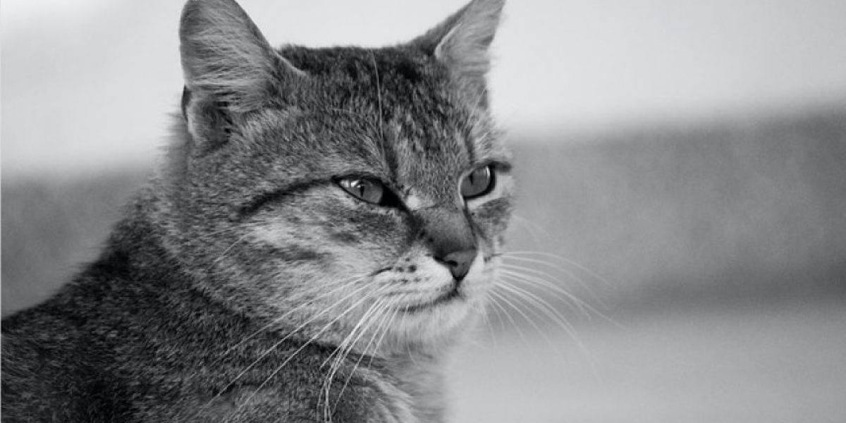 Enorme gato es grabado en un bosque de Escocia