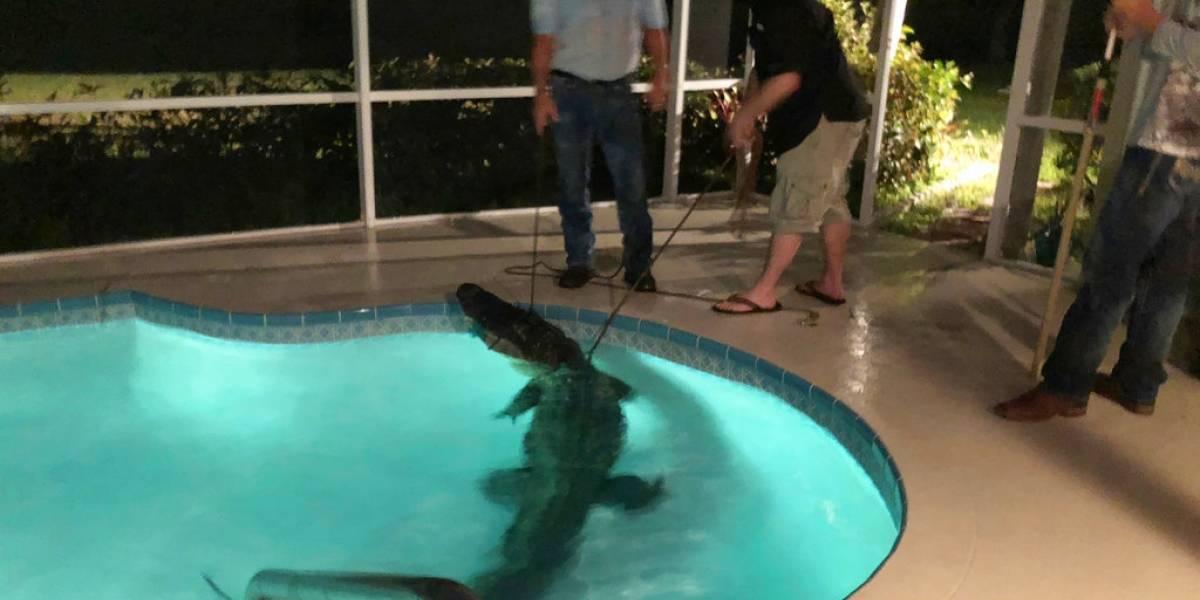 Encuentran a caimán en la piscina de una casa en Florida