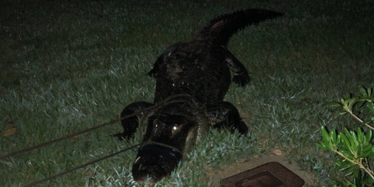 Encuentran a un caimán en una piscina de Florida