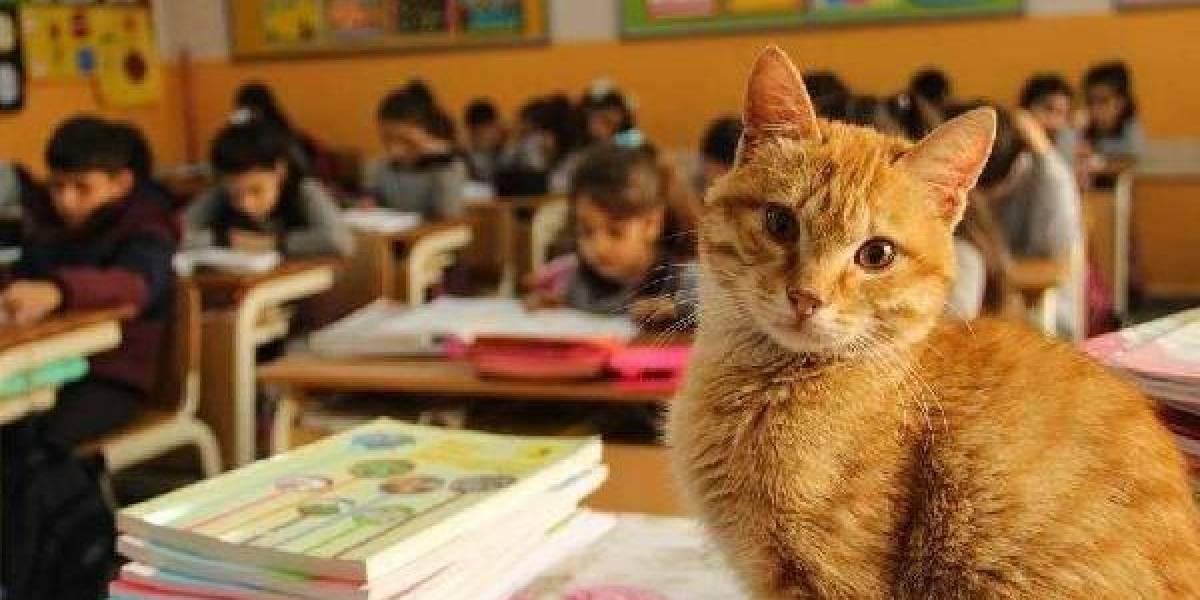 Le buscaron hogar pero siempre regresaba: gato callejero decidió quedarse a vivir en una sala de clases llena de niños
